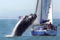 Deze foto, juist op dat moment! Een zeilboot die voor de kust van Kaapstad in Zuid-Afrika werd aangevallen door een walvis. Het echtpaar aan boord bleef ongedeerd, maar hun zeiljacht was flink toegetakeld.