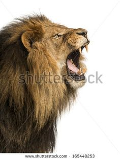 Close-up of a Lion roaring, isolated on white - stock photo