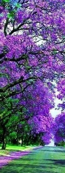 The jacaranda tree was a favorite of my Mom's. They don't grow in Iowa so I'm grateful for this beautiful picture that stirs sweet memories. Beautiful World, Beautiful Places, Plantation, Flowering Trees, Amazing Nature, Pretty Pictures, Beautiful Landscapes, Beautiful Flowers, Nature Photography