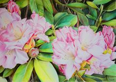 Rhododendron Flowers, painted in Coloured Pencil. Painting SOLD.