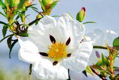 Tout autour de la Méditerranée vivent plusieurs populations de cistes. En effet, ces plantes se comptent par dizaines d'espèces. C'est pourquoi les sources antiques le mentionnent ici ou là, alors qu'en réalité [...]