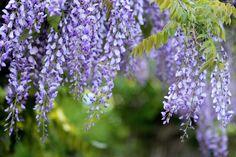 Fioletowe, Kwiaty, Glicynii