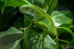 Piccsy :: Fiji Banded Iguana (by San Diego Zoo Global)