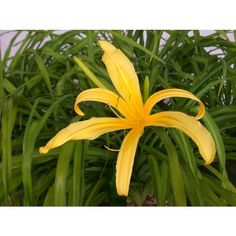 Kindly Light Daylily-Gilbert H. Wild & Son BOGO 15FMS