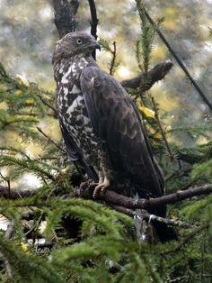 Pernis apivorus Buzzard, Crows Ravens, Birds Eye View, Bird Feathers, Bald Eagle, Finland, Cool Photos, Creatures, Animals