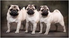 i willl own a pug one day! Pug Mug, Pugs And Kisses, Cute Pugs, Pug Love, Best Dogs, Fur Babies, Dog Cat, Cute Animals, 3 Muskateers