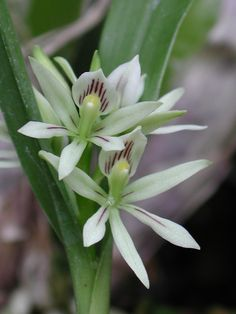 Anacheilium abbreviatum