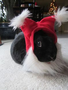 Bunny can pretend she's a lionhead with this Santa hat - December 25, 2012