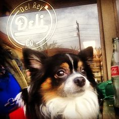 Batty's favorite place for roast beef! Del Rey Deli Co. In Playa del Rey, California #long haired chihuahua