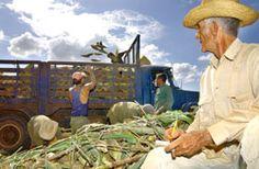 Sobre los hombros de los campesinos descansa el mayor peso de las producciones de granos del país (foto: GILBERTO RABASSA)