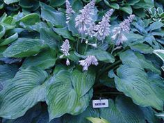 'Transformer' morphs from a light green in the spring (left) to two-tone to solid dark green (right) later in the summer...........http://statebystategardening.com/state.php/newsletters/stories/hostas_the_next_generation_woodard/