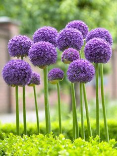 "Allium Gladiator bulbs - Height: tall 44"" (Plant 6-8"" apart.) blooms Late Spring to Early Summer. Full Sun, Soil Condition: Normal, Sandy, Acidic, Clay. Flowers the size of a softball on 3-5' leafless stems. Plant in groups of 3 or more for best effect."