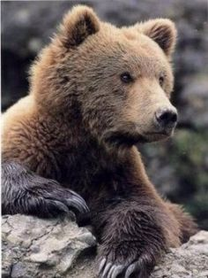 The Kodiak Bear - The Largest Bears In the USA