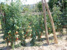 Agosto 2013:Come facevamo prima senza pomodori?