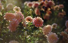 dahlia days by Danielle Hughson with Nikon F100