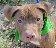 Manhattan Center CASH – A1087395 MALE, BROWN / WHITE, AM PIT BULL TER MIX, 9 mos…