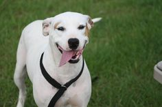 Meet Cher, an adoptable American Bulldog looking for a forever home. If you're looking for a new pet to adopt or want information on how to get involved with adoptable pets, Petfinder.com is a great resource.