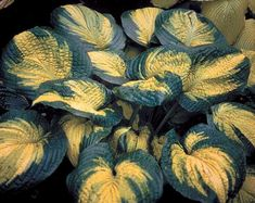 "Hosta 'BROTHER STEFAN' Height: 20"". Width: 3'. Partial to full shade. Consisten water needs. Attracts hummingbirds"