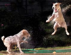 Jack Russell Terriers playing with a sprinkler.