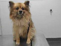 8/6/17-A PUREBRED POMERANIAN AVAILABLE FOR ADOPTION! - THIS IS A HIGH KILL SHELTER! - PLEASE SAVE HER! - WWW.SEAACA.ORG, DOWNEY CALIFORNIA