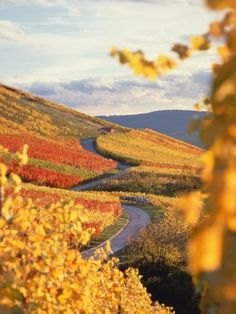 Vineyards in autumn in Esslingen, Baden-Württemberg, Germany - I love the colours