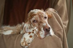 I miss my English Setters!!! Looks so much like my baby girl!!!