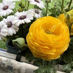 #yellowrose #sarıgül #bahçeçiçeği #flowersgarden #gardenflowers #kesikkavak #haymana #ankara