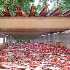 Some parts of Christmas Island funnel red crabs to underpasses so they don't get squished! It takes the males about 5 to 7 days to get from the forest to the beach #greatmigrations #redcrabs #ChristmasIsland #nationalparks #natgeo #nature #animals #wild