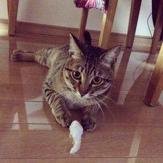 「しましまのねずさんよりもこっちのがすきなの。 I prefer this mouse more than another one. #もんちゃん #montblanc #monchan#cat #catstagram #tabby #tabbycat #browntabby #kitty #こねこ #子猫…」