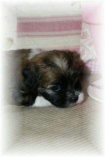 Havanese puppy Luna - photo made by Anne-Fieke Later