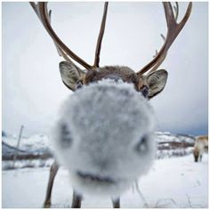 Nosey Wild Thing Reindeer and Snow Nose Beautiful Creatures, Animals Beautiful, Funny Animals, Cute Animals, Tier Fotos, Mundo Animal, Belle Photo, Animal Kingdom, Animal Pictures