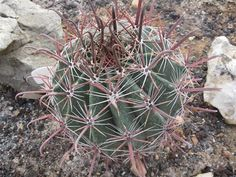 Ferocactus peninsulae