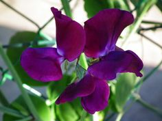 Ervilha-de-cheiro - Lathyrus odoratus