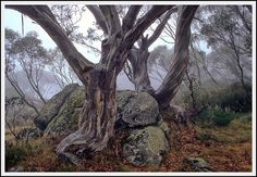 Misty snow gums - Falls Creek, Victoria