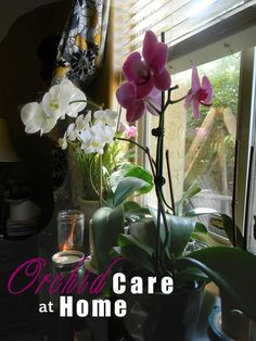 Phalaenopsis Orchid Care at Home. Position, Watering, Fertilizing, Blooming, Repotting #billyrachelblog #theroses #orchidcare #gardeningtips