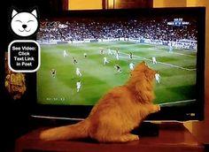 My big fat funny cat enjoying the football/soccer.  http://www.catvideooftheweek.com/videos/view/2234  #cvotw