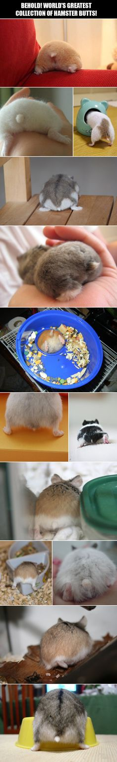 A lovely collection of hamster butts.--- Oh my god they're so freaking CUTE~ X3