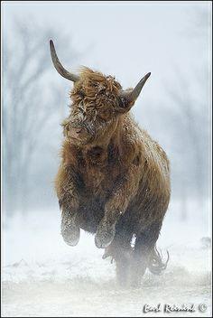 highland cow kicking up her heels :)