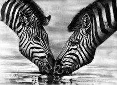 zebras :)