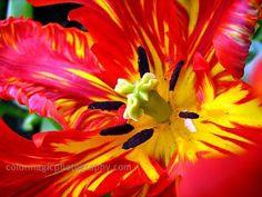 Parrot tulips-macro photography