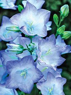Campanula, Takion Blue