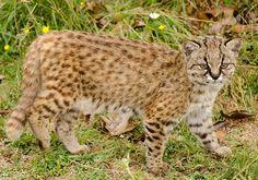 Kodkod, Leopardus guigna