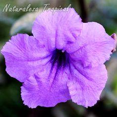 6 plantas que crecen a pleno sol sin ningún problema    Flor de una especie del género Ruellia