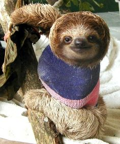 Sloth recovering from a broken neck at the Aviarios Sloth Sanctuary in Costa Rica