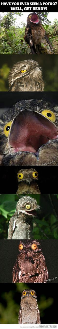 Have you ever seen a Potoo? It Always Looks Like It Just Saw Something Absolutely Horrifying. http://www.buzzfeed.com/lyapalater/the-potoo-bird-always-looks-like-it-just-saw-something-absol