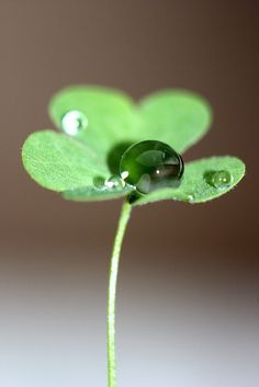 Dew drop on clover :)