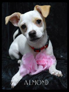 Meet Almond a Petfinder adoptable Terrier Dog | Simi Valley, CA | ~~~ Approximate Birth date:  12/28/13 ~~~ Please always check our website directly to see if this dog is still available.
