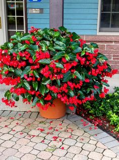 #Shade gardening Begonia 'Dragon Wings Red' is a vigorous begonia that will amaze you with its growth.