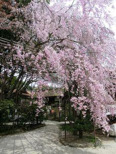 cherry blossoms @ Kamigamo-jinja #kyoto #japan