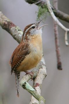 Carolina Wren. My absolute favorite bird, so adorable, and such a loud song!